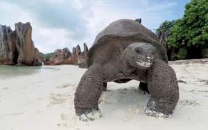 Tortue géante aux Seychelles