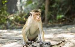 Royaume des Macaques � Toque