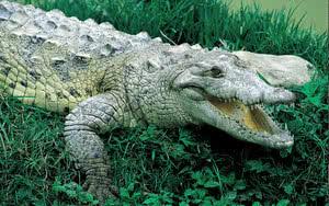Crocodile en République Dominicaine