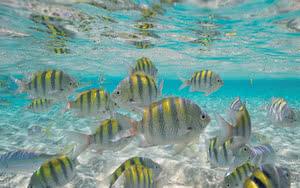 Espèce de poisson dans la mer des Caraïbes