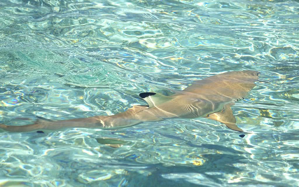 Bora Bora : decouverte ultime raie requins